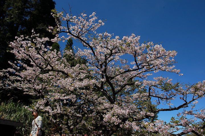 28阿里山櫻花