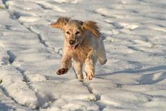 Super Flying Floss (Dan Baillie) Tags: winter dog snow scotland fly ears canine spaniel cockerspaniel galloway newtonstewart wigtownshire danbaillie bailliephotographycouk bailliephotography wigtownshirephotographer dumfriesandgallowayphotography