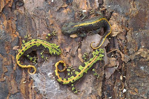 Triturus marmoratus & carnifex hybrid  - Marbled newt & hybrid with crested newt