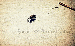 Crabby (Paradoxx Photography) Tags: beach animals sand crab