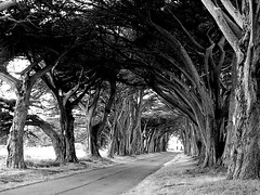 Avenue of Trees - Point Reyes - Black and White (Blue Rave) Tags: road park trees blackandwhite bw nature leaves lines garden vanishingpoint angle path trails angles line trail pathway