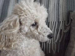 Can A Poodle Be Possessed?