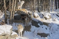 Wolves Howl (Explored) (Eve'sNature) Tags: nature minnesota wolf wildlife ely wolves explored naturevideo