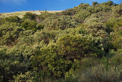 LOTS of flowering manzanitas