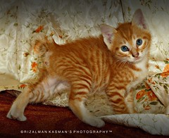 """Yang"" - Age 1 month January 2010 ( Rizalman Kasman Photography) Tags: orange cute cat kitten portait ying gatos lovely 1001nights oren manja stripy kucing belang adoreable cantik bestofcats 1001nightsmagiccity"