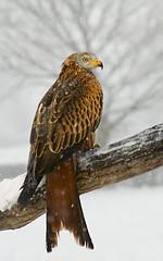 Red Kite in Snow (Mike Ashton) Tags: winter snow bird wales nikon beak feather talon raptor redkite avianexcellence dapagroupmeritaward dapagroupmeritaward3 dapagroupmeritaward5 midwalesfalconrycentre
