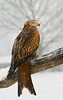 Red Kite in Snow (Mike Ashton) Tags: winter snow bird wales nikon beak feather talon raptor redkite avianexcellence dapagroupmeritaward dapagroupmeritaward3 dapagroupmeritaward5 midwalesfalconrycentre