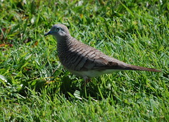 Peaceful Dove (tkmckinn) Tags: birds australia july09