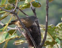 Reed Warbler2 (tkmckinn) Tags: birds australia july09