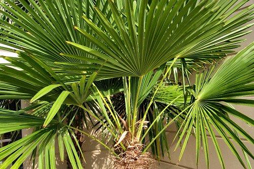 Trachycarpus fortunei (rq) - 01