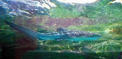 DSC03084 (petitekyuusette) Tags: fish australia sydneyaquarium