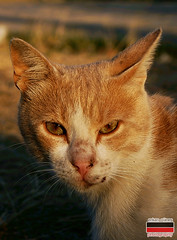 (erkangunes) Tags: white eye animal yellow cat golden chat sharp kedi chatte hayvan