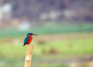 kingfisher - machranga