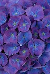 41675 (Clive Nichols) Tags: flowers blue beautiful renate hydrangea shrub hortensia mophead steinger macrophylla hortensis clivenichols flickrhydrangeas