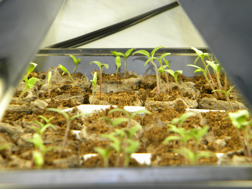 Seedlings - What are you growing?