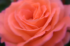 Dreaming of Valentine (W J (Bill) Harrison) Tags: flowers macro nature rose petals soft valentines canon50d wjbillharrison paddystevensrose