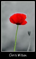 One love (chriswilson7642) Tags: red art blackwhite stem war dof bokeh poppy popped selective clour objectiveart colourkey objectve daarklands