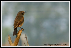 250mm + Patience = 500mm (Vivek Dikshit) Tags: morning india bird piedbushchat canon1000d vivekdikshit panchmarilake