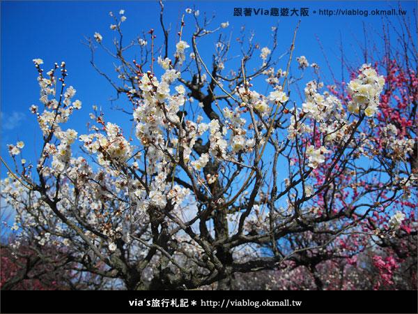 【via關西冬遊記】大阪城天守閣!冬季限定:梅園梅花盛開11