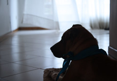 Patient (Juanplav) Tags: blue light dog waiting time patient perro patience tiempo paciencia paciente juanplav
