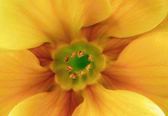 Primrose 4 #9, Colorado (sethgoldstein72) Tags: beautiful showroom florafauna beautifulflowers fotoclub fotocommunity greatphotographers spettacolare floralfantasy intouchwithnature addictedtoflickr flowerotica flowersflowersflowers kartpostal photogarden peaceaward colorphotoaward agradephoto flickraward flickrbronzeaward flowersarebeautiful aclassgroup flowerorfoliagedetail flickrsfantasticflowers macroelsalvador naturelimited macroflowerlovers crazyaboutnature fundamentalfantasticphotography arealgem flickrovertheshot auniverseofflowers awesomeblossoms nikonflickraward flickrflorescloseupmacros grrreatworks doubledragonawards colorphotoawardpremier exceptionalflowers greatshotss magnificentmacros elclickdenikon fullframeflowers crazyaboutnatureawards allaboutflowers absolutelyperrrfect flowersonflickr addictedtoflower ~perfectpetals~ coloursofflowers todaysbest nossasfloresourflowers beautifulfloras flickrsgottalent flickrshutterspace breathtakingcapture myfavoritemacro hellofriend thethreeangelslevel1blueangel iwanttostareatthis brigettesbeautifulnaturegallery