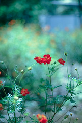 Missing (Ale Marques Fotografia) Tags: flowers blue flower dof bokeh cosmos canoneos1d