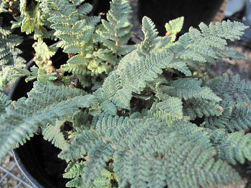 Cheilanthes tomentosa (wooly lip fern)