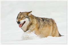 Cry Wolf (hvhe1) Tags: winter snow nature animal germany mammal bavaria bravo wolf wildlife reserve naturereserve predator naturesfinest bavarianforest specanimal hvhe1 hennievanheerden specanimalphotooftheday beierischerwald hennievanheerden