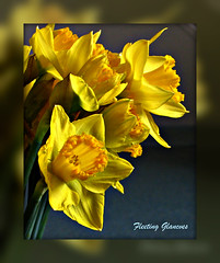 352. THE WELSH NATIONAL EMBLEM - The daffodil (or narcissus) (fleetingglances) Tags: david saint wales emblem daffodil welsh narcissus flickrdiamond