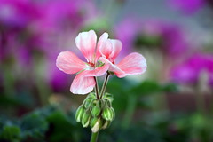 HBW Gorgeousness! (RachaelMc) Tags: flowers flower nature beautiful purple bokeh gorgeous geraniums geranium pelargonium potplant hbw bej abigfave brillianteyejewel rjmcdiarmid