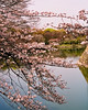 cherry blossoms japan sakura picture