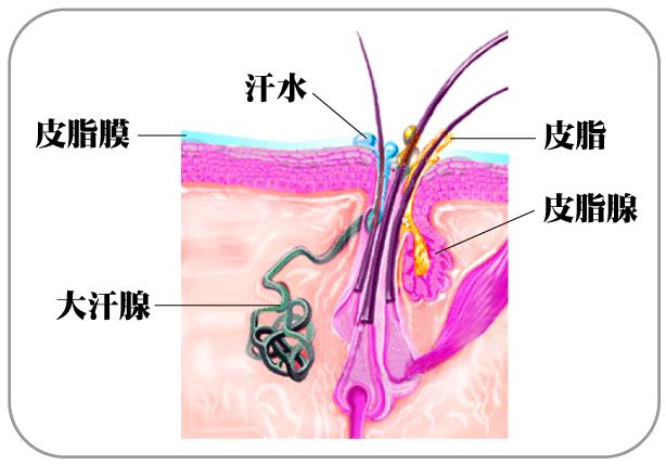 馨舞極,馨舞極spa.皮脂膜