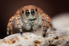 Female Habronattus ustulatus (Mundo Poco) Tags: macro canon spider arachnid jumpingspider salticid mpe 65mm salticidae eos450d habronattus specinsect rebelxsi habronattusustulatus