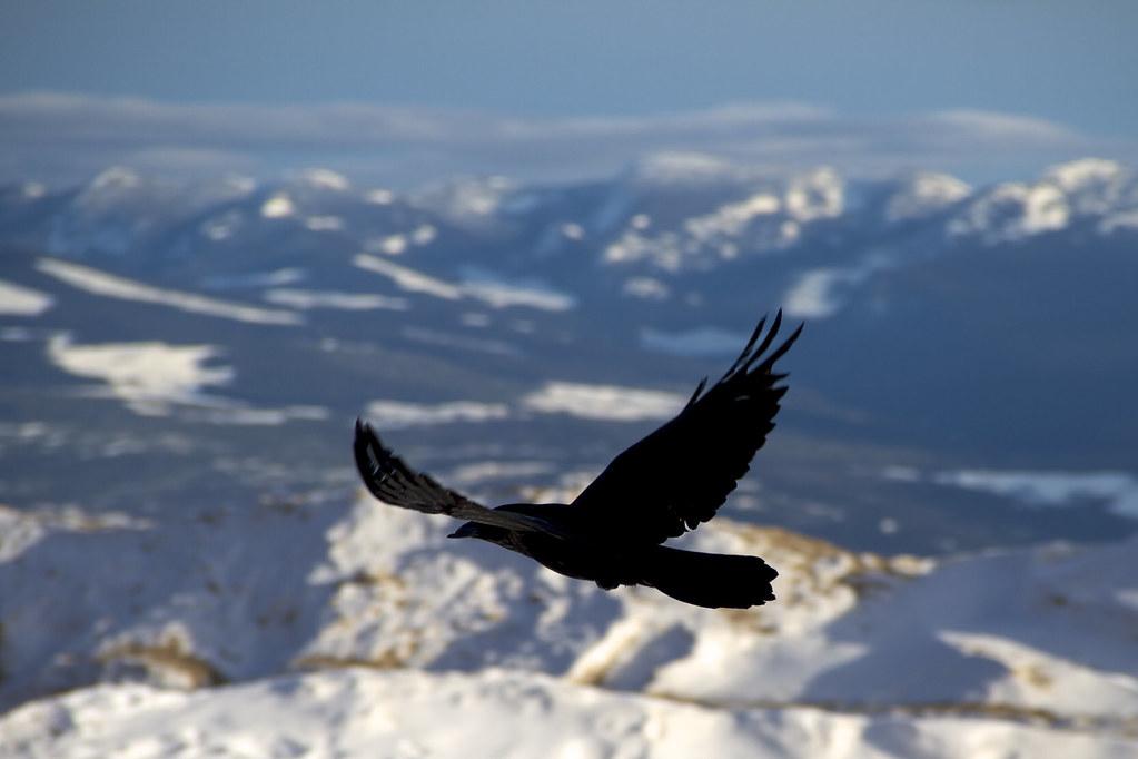 Big White Raven 153/365