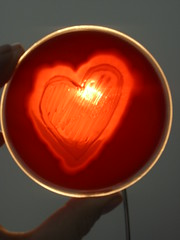 Heart II - C.perfringens in blood agar (Uka wonderland) Tags: red blood heart bacteria microbiology agar clostridium cperfringens haemolysis