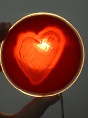 Heart II - C.perfringens in blood agar (Uka wonderland) Tags: red blood heart bacteria microbiology agar clostridium cperfringens haemolysis