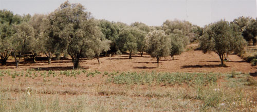 orchards1