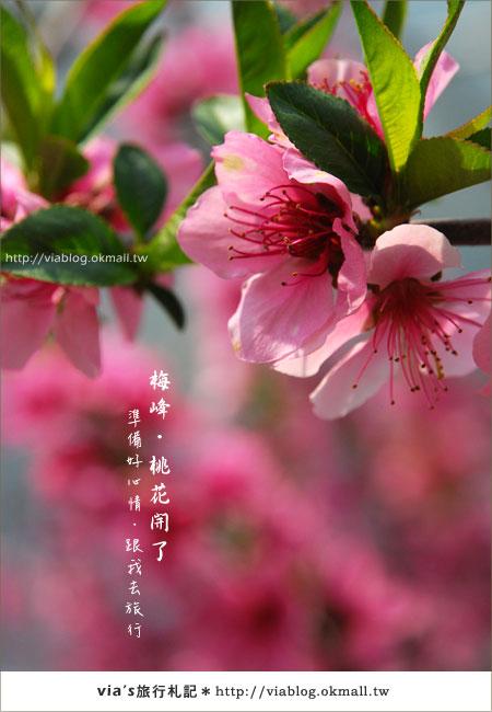 【梅峰農場桃花緣】最美的桃花隧道,就在南投梅峰這裡~(上)25