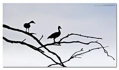 Two Ducks in a Tree ([ Kane ]) Tags: tree bird birds geese duck ducks brisbane swans qld kane quack 70200 anatidae gledhill 50d sillioutte kanegledhill wwwhumanhabitscomau kanegledhillphotography