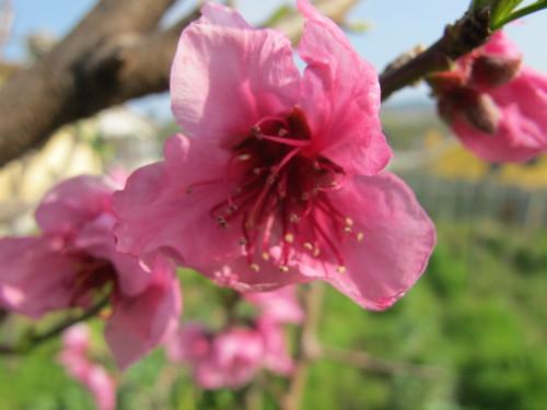 fiori rosa fiori di pesco 010