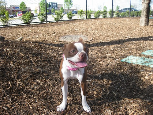 Clementine having fun at the dog park