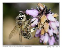 Bee (BerColly) Tags: flowers france macro fleurs spring google flickr lyon meg bee printemps abeille rhonealpes parctetedor naturesgallery theunforgettablepictures nikkor105macrovr elshowdelmacro bercolly