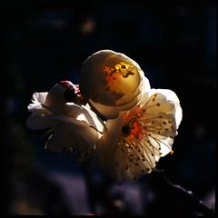 Warm place (HASSELBLAD 500C/M) (potopoto53age) Tags: flowers flower macro 6x6 film japan zeiss mediumformat square warm kodak plum hasselblad squareformat apricot epson ektachrome e100vs f28 yamanashi planar kofu extensiontube plumblossoms 80mm 500cm japaneseapricot hassel carlzeiss hasselblad500cm nont kodakektachromee100vs warmplace carlzeissplanar80mmf28 epsongtx970 gtx970 awesomeblossoms