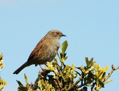 Dunnock (Jacky4me) Tags: uk bird nature dunnock sparrow hedge british essex harwich