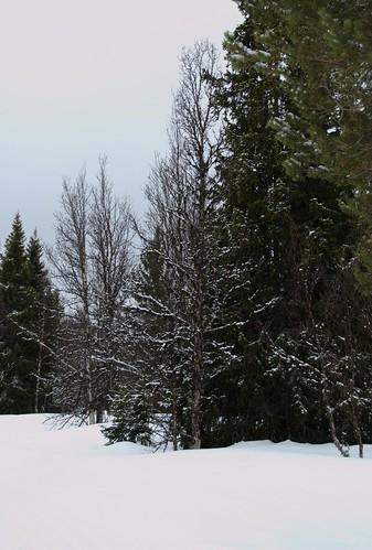 Bjerk (7032)