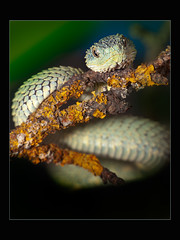 Bush Viper (Atheris Squamigera) (guenterleitenbauer) Tags: pictures africa tree animal animals march tiere photo google bush flickr foto image photos reptile snake images krnten carinthia fotos afrika bild zo viper snakes mrz bilder reptiles tier schlange zoos 2010 gnter vipers schlangen reptilien nockalm atheris bushviper guenter reptilienzoo squamigera leitenbauer patergassen baumschlangen treesnakes wwwleitenbauernet buschviper