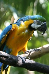 "02 09_ CR_ Zoo Ave_ BG Macaw steps • <a style=""font-size:0.8em;"" href=""http://www.flickr.com/photos/30765416@N06/4520230605/"" target=""_blank"">View on Flickr</a>"