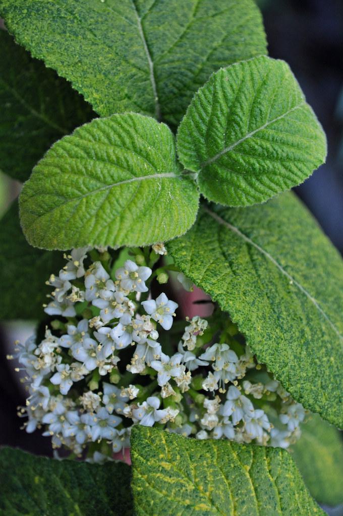 Viburnum lantana 'Variegata' (Variegated Wayfaring Tree)
