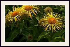 Flower Time (knightlines) Tags: flowers painterly flowerpower paintedflowers
