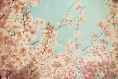 cherry blossoms (dustinphillips) Tags: texture spring flora fourseasons cherryblossoms towergrovepark flypaper